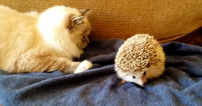 Кот сел на ежа! Смешная реакция кота заставит вас лопнуть со смеху!