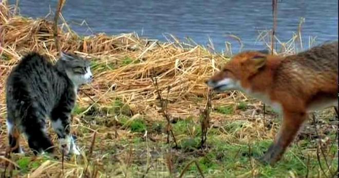 Схватка дикой лисы и домашнего кота на берегу озера. Кто кого?