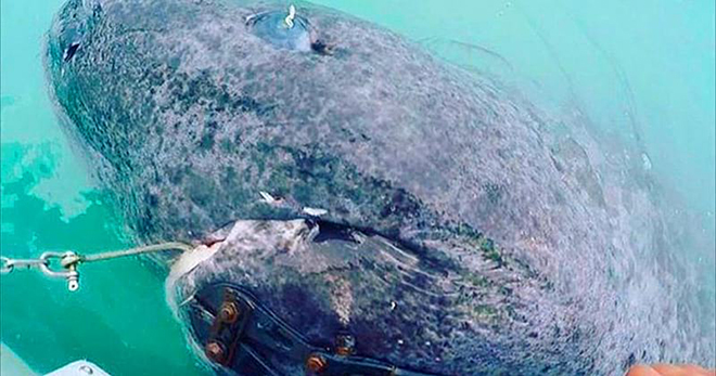В Атлантике поймали акулу, которой 512 лет. Только взгляните на этого монстра!