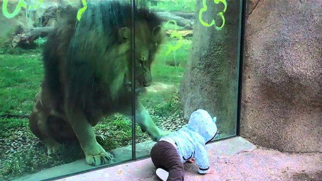 20 000 000 просмотров! Лев в зоопарке играет с малышом, хищник без ума от малютки!