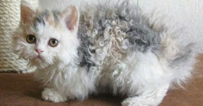 Котёнок родился кудрявым, как пудель — тогда его владелица пригляделась и узнала почему