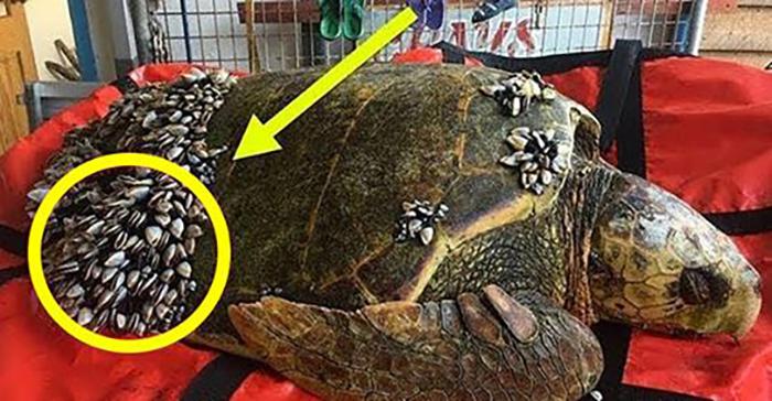 Бедная черепаха отчаянно нуждалась в помощи! (Видео)