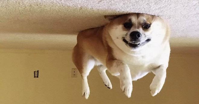 Перевёрнутые собаки смотрятся довольно забавно, и в интернете такие фото набирают популярность