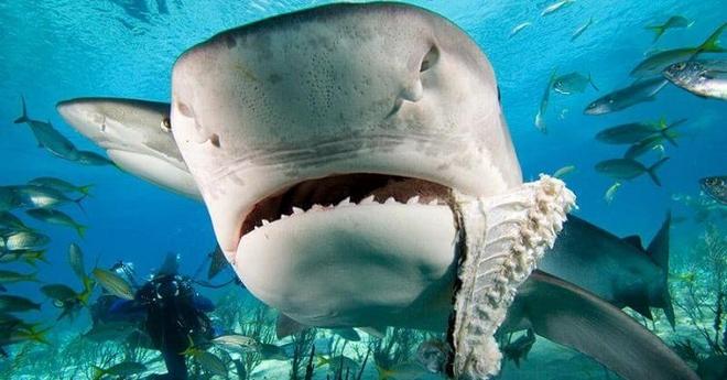 Акула никогда не приблизится к человеку, если рядом находится дельфин