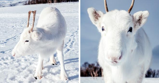 Фотограф запечатлел невероятно редкого белоснежного малыша оленя в Норвегии (6 фото)