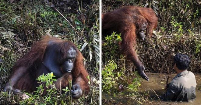 Орангутанг подошёл к человеку, который стоял в воде, и предложил ему руку помощи