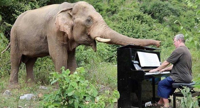 Мужчина играет классическую музыку, чтобы помочь слепым слонам