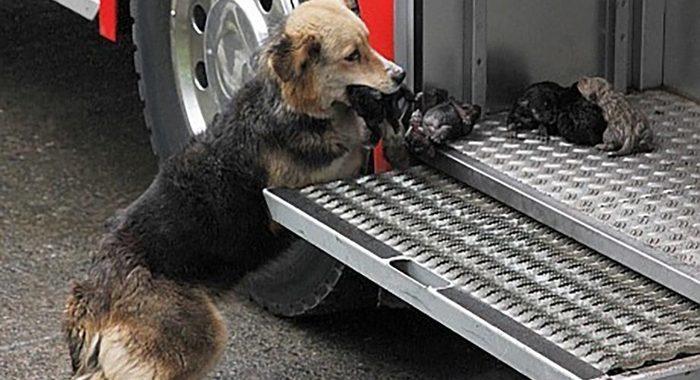 Собака спасала своих щенков из пылающего здания и выносила их прямо в пожарную машину