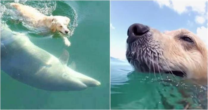 Очень необычная дружба: ежедневно лабрадор бегает на пристань, чтобы поплавать со своим другом – дельфином